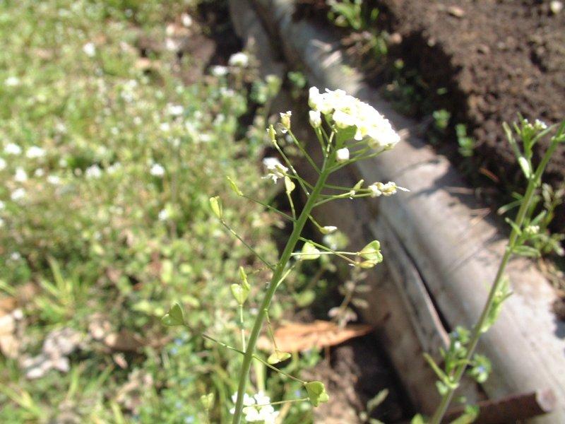 ぺんぺん草の桜の花